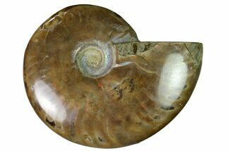 "2.1"" Red Flash Ammonite Fossil - Madagascar For Sale, #151706"