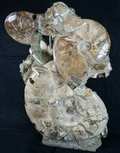 "Free-Standing 21"" Tall Ammonite Cluster - Spectacular For Sale, #10469"