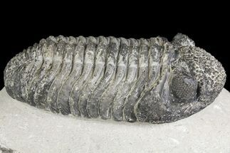 "Buy 5.15"" Drotops Trilobite With White Patina - Great Eyes! - #153964"