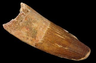 "2.4"" Spinosaurus Tooth - Feeding Worn Tip For Sale, #154007"