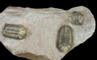 Two Austerops Trilobites With Belenopyge-Like Lichid - Jorf  For Sale, #154202
