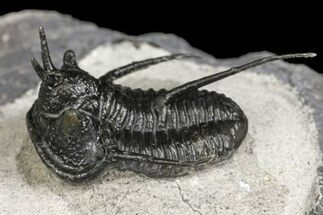 "Buy ""Devil Horn"" Cyphaspis Trilobite With Gerastos - Mrakib, Morocco - #154291"