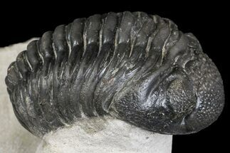 "Buy 2.5"" Pedinopariops Trilobite With Good Eyes - Mrakib, Morocco - #154654"