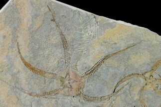 Two Ordovician Brittle Stars (Ophiura) - Morocco For Sale, #154148