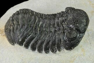 Morocops (Barrandeops) sp. - Fossils For Sale - #154815