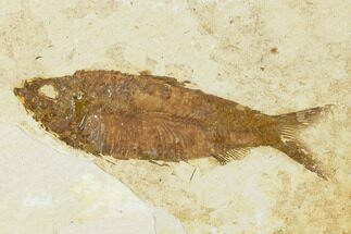 "Buy 3.6"" Detailed Fossil Fish (Knightia) - Wyoming - #155476"