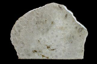 "Buy 5.5"" Free-Standing, Polished Petoskey Stone (Fossil Coral) - Michigan - #156016"