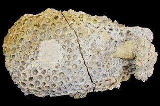 "5.1"" Fossil Coral Colony (Stylina & Thamnasteria) Association -Germany For Sale, #157325"