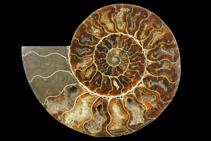 "6.55"" Cut & Polished Ammonite Fossil (Half) - Madagascar"