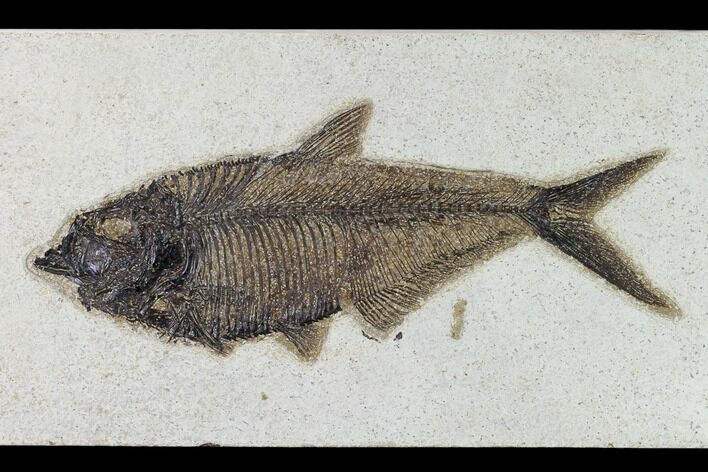 "9.4"" Fossil Fish (Diplomystus) - Wyoming"