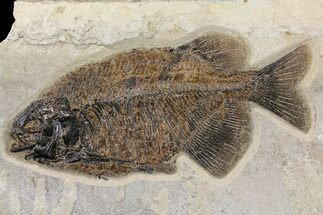 "Buy 11.3"" Fish Fossil (Phareodus) With Visible Teeth - Wyoming - #158593"
