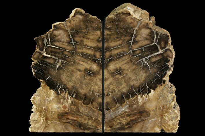 "7.3"" Petrified Wood Bookends - McDermitt, Oregon"