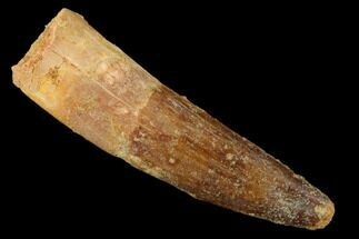 "2.04"" Spinosaurus Tooth - Real Dinosaur Tooth For Sale, #159176"