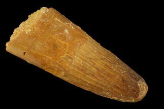 "1.62"" Spinosaurus Tooth - Real Dinosaur Tooth For Sale, #159206"