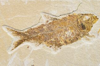 "4.1"" Fossil Fish (Knightia) - Wyoming For Sale, #159545"