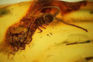 Detailed Fossil Centipede (Chilopoda) In Baltic Amber For Sale, #159860
