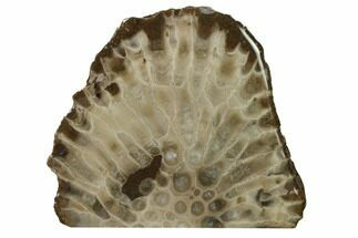 "Buy 3.8"" Free-Standing, Petoskey Stone (Fossil Coral) Section - Michigan - #160264"