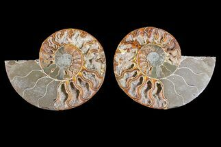Cleoniceras - Fossils For Sale - #148035