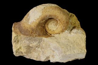 "1.2"" Ordovician Gastropod (Salpingostoma) Fossil - Wisconsin For Sale, #162965"