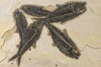 Knightia eocaena  - Fossils For Sale - #163446