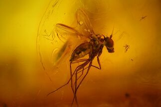 Fossil Fly (Diptera) In Baltic Amber For Sale, #163493