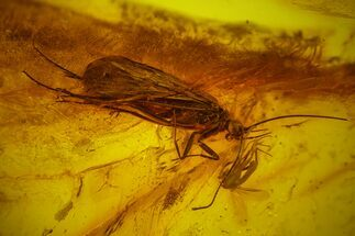 Buy Fossil Caddisfly (Trichoptera) & Fly (Diptera) in Baltic Amber - #163495