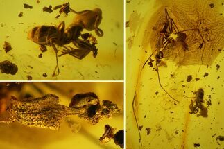 Order Opiliones (Spider), Family Formicidae (Ant) & Unidentified Flower  - Fossils For Sale - #163506