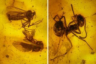 Detailed Fossil Ant (Formicidae) & Two Flies (Diptera) in Baltic Amber For Sale, #163526