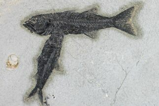 "5.3"" Black, Mioplosus Fossil Fish With Knightia - Wyoming For Sale, #163538"
