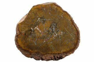 Conifer - Fossils For Sale - #163668