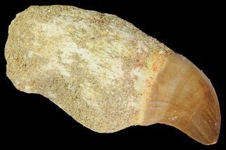 "Buy 1.9"" Fossil Rooted Mosasaur (Prognathodon) Tooth - Morocco - #163900"