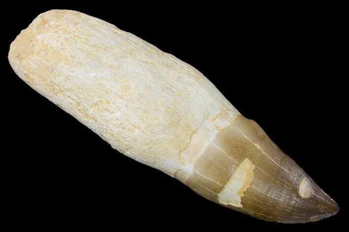 "Serrated, 5"" Fossil Rooted Mosasaur (Prognathodon) Tooth - Morocco"