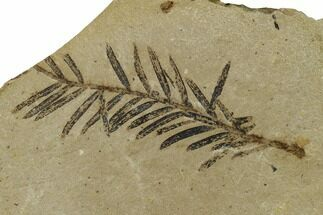 "1.7"" Dawn Redwood (Metasequoia) Fossil - Montana For Sale, #165221"