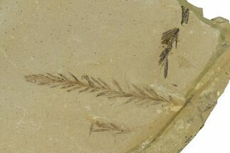 Metasequoia (Dawn Redwood) - Fossils For Sale - #165246