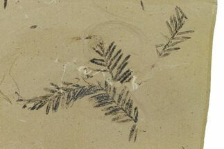 Metasequoia (Dawn Redwood) - Fossils For Sale - #165255