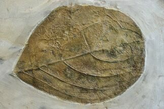 Unidentified Leaf - Fossils For Sale - #165015