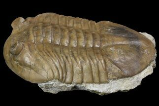 "3.1"" Asaphus Latus Trilobite With Exposed Hypostome - Russia For Sale, #165446"