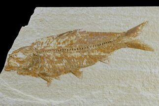 "3.9"" Detailed Fossil Fish (Knightia) - Wyoming For Sale, #165872"