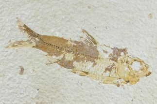 "Bargain, 3.3"" Fossil Fish (Knightia) - Wyoming For Sale, #165821"