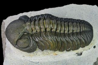 "Nice, 2.15"" Austerops Trilobite - Visible Eye Facets For Sale, #165911"