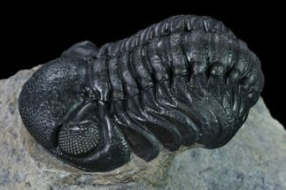 "Buy Nice, 2.1"" Austerops Trilobite - Visible Eye Facets - #165913"