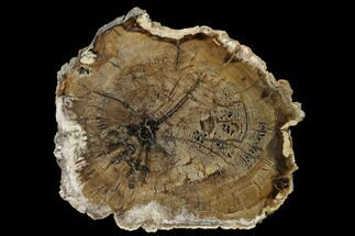 Cherry - Fossils For Sale - #166056