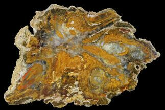 "10.6"" Colorful, Hubbard Basin Petrified Wood Slab - Nevada For Sale, #166061"