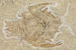 "Large, 4.5"" Crustacean (Eryon) Fossil - Solnhofen Limestone For Sale, #167795"