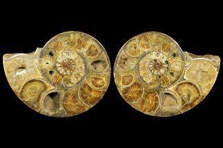 "Buy 14.5"" Honey-Orange Ammonite (Argonauticeras) - Befandriana, Madagascar - #168517"