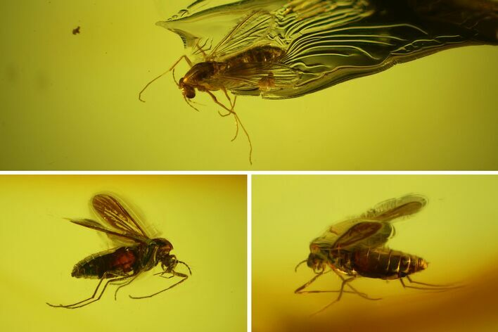 Two Fossil Flies (Diptera) In Baltic Amber