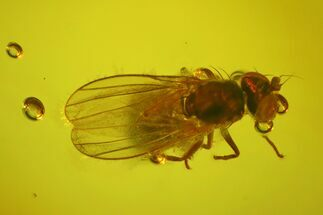 Buy Fossil Fly (Diptera) In Baltic Amber - #170095