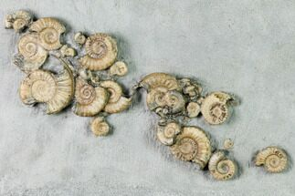 Buy Fossil Ammonite (Promicroceras) Cluster on Limestone - Lyme Regis - #171268