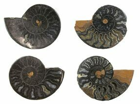 "Buy Black, Cut & Polished, Ammonite Fossils - 1 1/2 to 2"" Size - #172282"