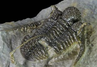 "Buy 1.5"" Very Detailed Cyphaspis Trilobite - Ofaten, Morocco - #170929"
